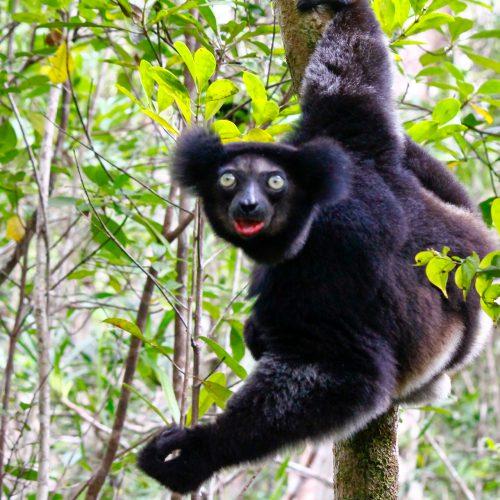 De Indri van Andasibe NP