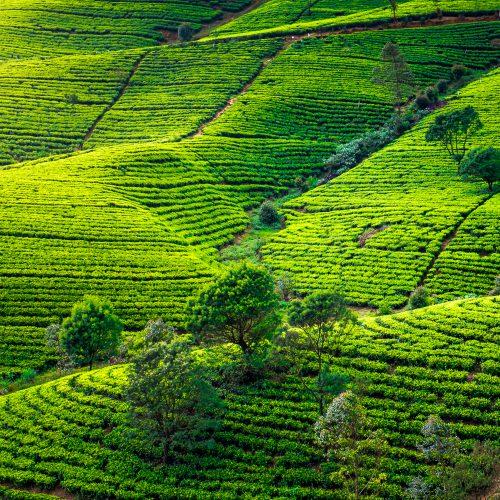 Theeplantages van Nuwara Eliya