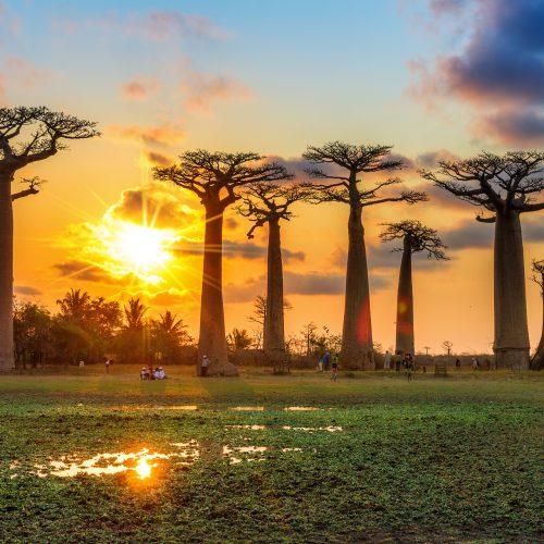 Baobabs bij zonsondergang